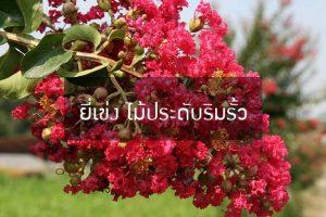 ยี่เข่ง ไม้ประดับริมรั้ว ดอกสวยหลากสีทำให้บ้านสดใส