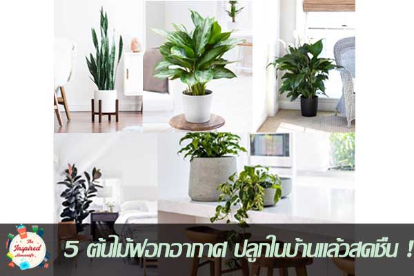 5 ต้นไม้ฟอกอากาศ ปลูกในบ้านแล้วสดชื่น #บ้านและสวน